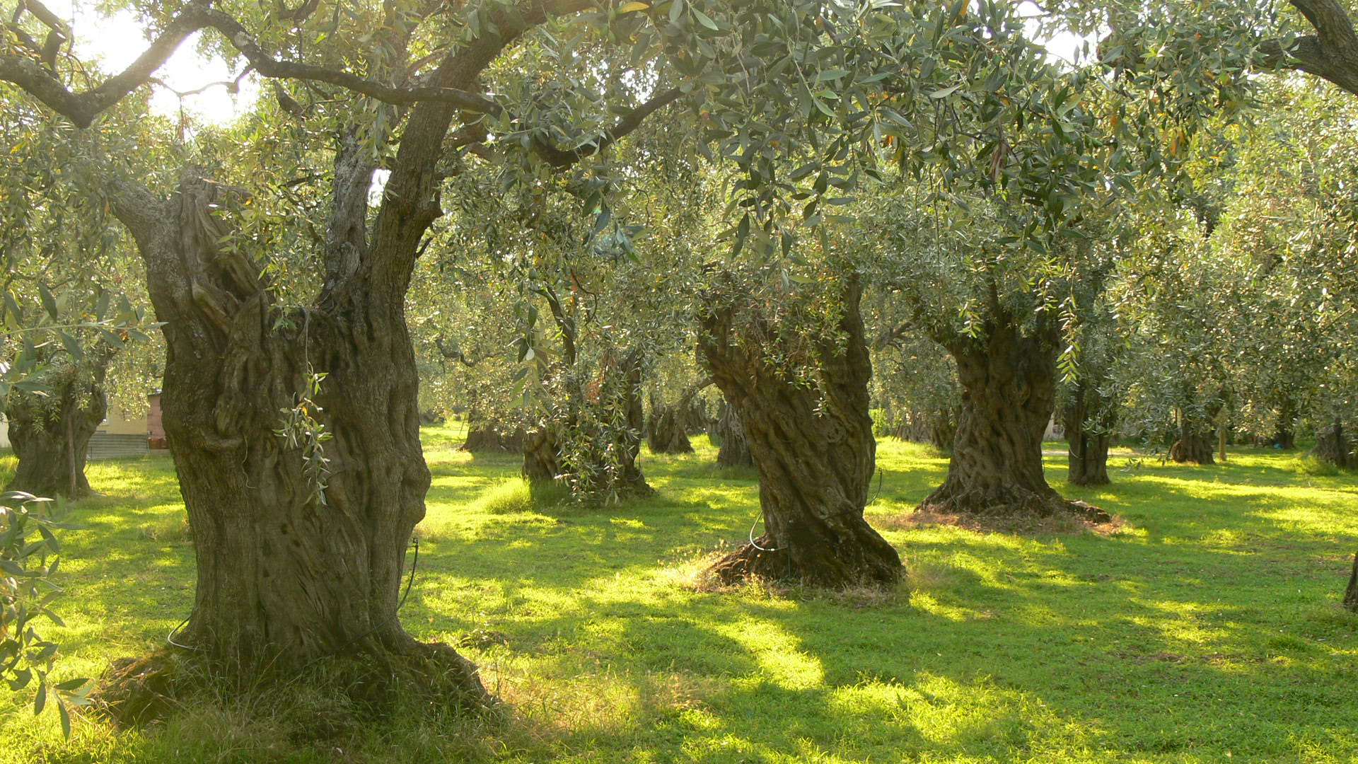 Olive Trees in Athens
